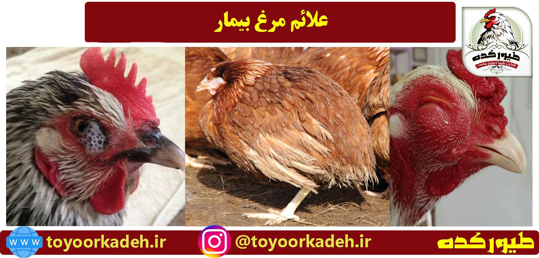 علائم بیماری مرغ