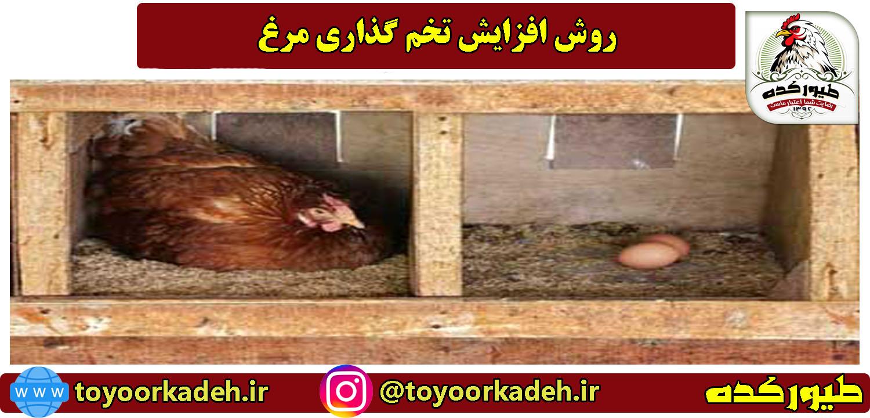 افزایش تولید تخم گذاری مرغ