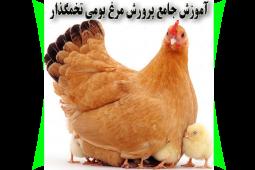 آموزش پرورش مرغ بومی تخمگذار