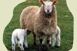 کتاب اندرویدی آموزش جامع پرورش گوسفند داشتی و بره پرواری